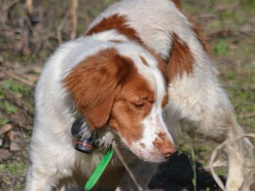 Comment Choisir La Taille de gilet pour un chien de Chasse ?